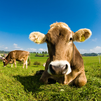 Flora and Fauna. Animals. Cow
